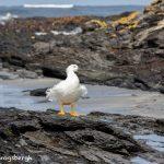 5855 Male Kelp Goose (Chloephaga hybrida), Sea Lion Island, Falklands