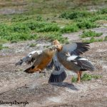5856 Territorial Fight, Ruddy-headed Geese, Sea Lion Island, Falklands