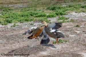 5856 Territorial Fight, Ruddy-headed Geese, Sea Lion Island, Falklands