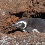5857 Magellanic Penguin (Spheniscus magellanicus), Sea Lion Island, Falklands
