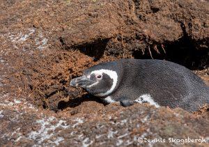 5857 Magellanic Penguin (Spheniscus magellanicus), Sea Lion Island, Falklands