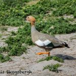 5858 Ruddy-headed Goose Injured in Territorial Fight, Sea Lion Island, Falklands