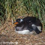 5859 Gentoo Penquin (Pygoscelis papua), Sea Lion Island, Falklands