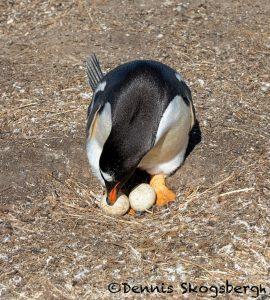 5860 Gentoo Penguin Nesting (Pygoscelis papua), Sea Lion Island, Falklands