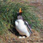 5861 Gentoo Penguin Nesting (Pygoscelis papua), Sea Lion Island, Falklands