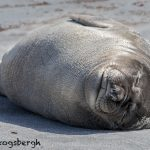 5863 Female Elephant Seal (Mirounga leonina), Sea Lion Island, Falklands