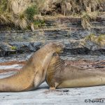 5864 Male Southern Elephant Seals Practicing Mating Displays, Sea Lion Island, Falklands