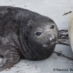 5867 Southern Elephant Seal Pup, Sea Lion Island, Falklands