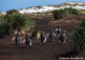 5869 Gentoo Penquins (Pygoscelis papua), Sea Lion Island, Falklands