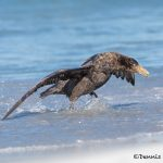 5872 Southern Giant Petrel (Macronectes giganteus), Sea Lion Island, Falklands