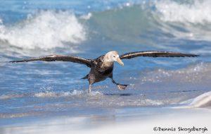5873 Southern Giant Petrel (Macronectes giganteus), Sea Lion Island, Falklands