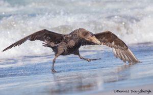 5875 Southern Giant Petrel, (Macronectes giganteus), Sea Lion Island, Falklands