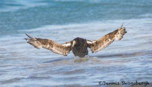 5876 Southern Giant Petrel (Macronectes giganteus), Sea Lion Island, Falklands