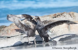 5879 Southern Giant Petrels (Macronectes giganteus) Fighting Over Beached Orca Carcass, Sea Lion Island, Falklands