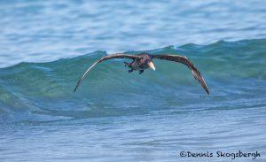 5881 Southern Giant Petrel (Macronectes giganteus), Sea Lion Island, Falklands