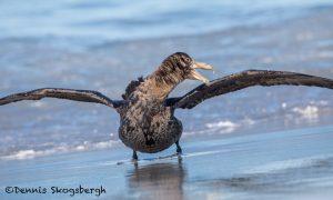 5882 Southern Giant Petrel (Macronectes ganteus), Sea Lion Island, Falklands