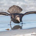5883 Southern Giant Petrel (Macronectes ganteus), Sea Lion Island, Falklands