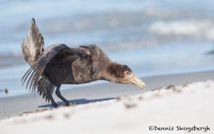 5884 Southern Giant Petrel (Macronectes ganteus), Sea Lion Island, Falklands