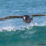5887 Southern Giant Petrel (Macronectes giganteus), Sea Lion Island, Falklands
