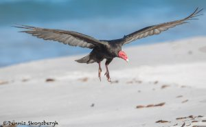5888 Turkey Vulture (Cathartes aura), Sea Lion Island, Falklands