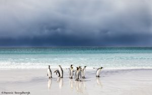 5891 King Penguins, Volunteer Beach, Volunteer Point, Falklands