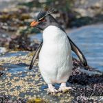 5895 Rockhopper Penguin [Eudyptes (chrysocome) filholi], Saunders Island, Falklands