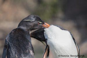 5896 Rockhopper Penguin Pair [Eudyptes (chrysocome) filholi], Saunders Island, Falklands