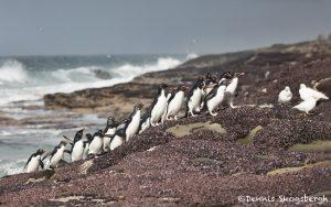 5898 Rockhopper Penguins [Eudyptes (chrysocome) filholi], Saunders Island, Falklands