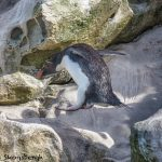 5899 Rockhopper Penguin [Eudyptes (chrysocome) filholi] Hopping Rocks, Saunders Island, Falklands