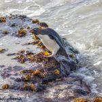 5901 Rockhopper Penguin [Eudyptes (chrysocome) filholi], Saunders Island, Falklands