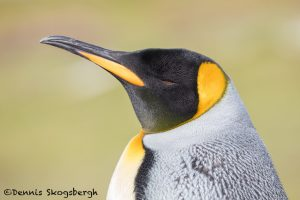 5904 King Penguin (Aptenodytes patagonicus), Volunteer Point, Falkland Islands