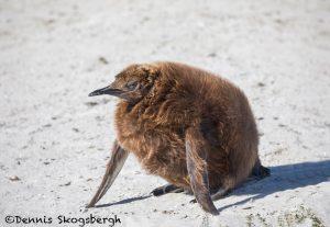 5905 Immature King Penguin (Aptenodytes patagonicus), Volunteer Point, Falkland Islands
