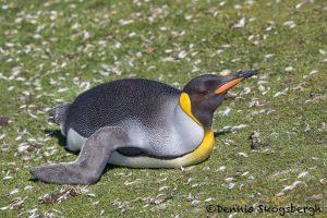 5906 King Penguin (Aptenodytes patagonicus), Volunteer Point, Falkland Islands