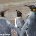 5910 King Penguins (Aptenodytes patagonicus), Volunteer Point, Falkland Islands
