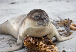 5915 Southern Elephant Seal Weaner (Mirounga leonina), Sea Lion Island, Falklands
