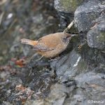 5916 Cobb's Wren (Troglodytes cobbi), Sea Lion Island, Falklands