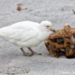 5917 Snowy Sheathbill (Chionis albus), Sea Lion Island, Falklands