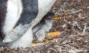 5920 Gentoo Penguin Chick, Sea Lion Island, Falklands