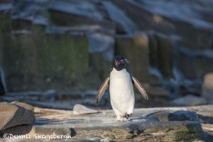5922 Rockhopper Penguin [Eudyptes (chrysocome) filholi], Sea Lion Island, Falklands