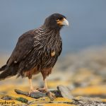 5924 Striated Caracara (Phalcoboenus australis), Sea Lion Island, Falklands
