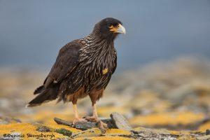 5924 Striated Caracara (Phalcoboenus australis), Sea Lion Island, Falklands