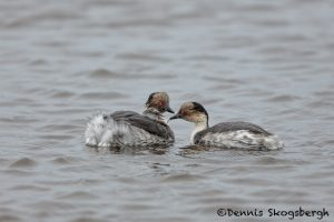 5925 Southern Silvery Grebes and Chick (Podiceps occipitalis), Sea Lion Island, Falklands