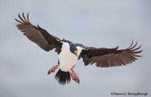 5926 Fakland Imperial Shag (Cormorant) Phalacrocorax atriceps), Sea Lion Island, Falklands