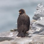 5929 Striated Caracara (Phalcoboenus australis), Sea Lion Island, Falklands