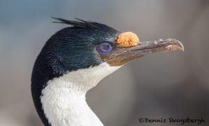 5930 Falkland Imperial Shag (Cormorant) (Phalacricorax atriceps), Sea Lion Island, Falklands
