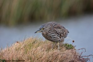 5932 Immature Black-crowned Night Heron (Nycticorax nycticorax), Sea Lion Island, Falklands