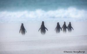 5935 Blowing Sand, Magellanic Penguins Walk To The Ocean, Saunders Island, Falklands