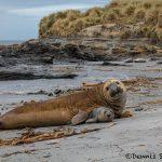 5936 Southern Elephant Seal Pair (Mirounga leonine), Sea Lion Island, Falklands