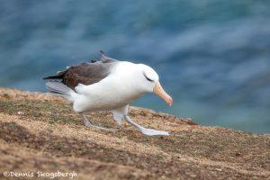 5938 Black-browed Albatross (Thalassarche melanophris), Saunders Island, Falklands