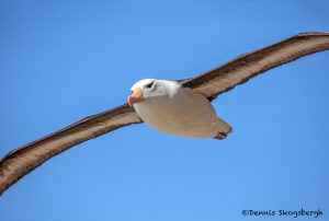 5939 Black-browed Albatross (Thalassarche melanophris), Saunders Island, Falklands